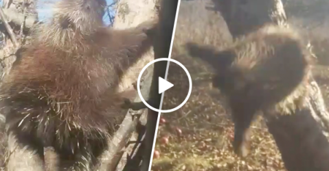 Hilarious drunk porcupine needs to lay off the apples (Video)