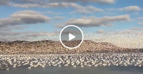 A Flock of Snow Geese Flying Over A Lake in Canada