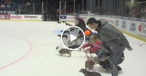 A Puppy Wiener Dog Race on Ice During Hockey Game