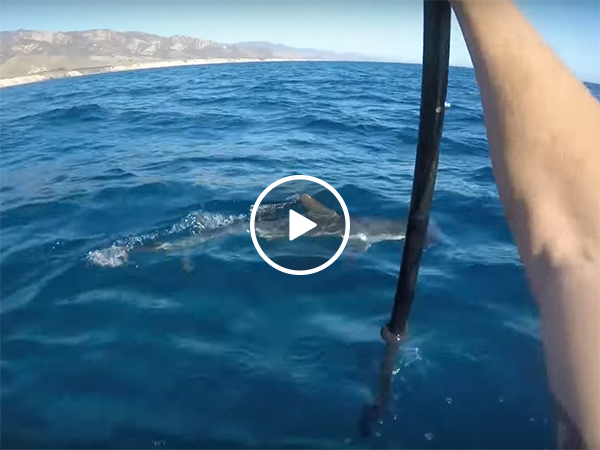 Man on kayak fights off Hammerhead shark with his paddle