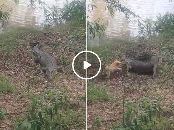 Dog Runs After Crocodile | Animal Fight In The Swamp