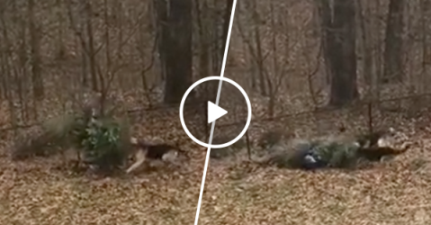 Dogs were not ready to say goodbye to Christmas tree (Video)