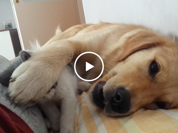 Patient dog pushes away rough playing kitten (Video)