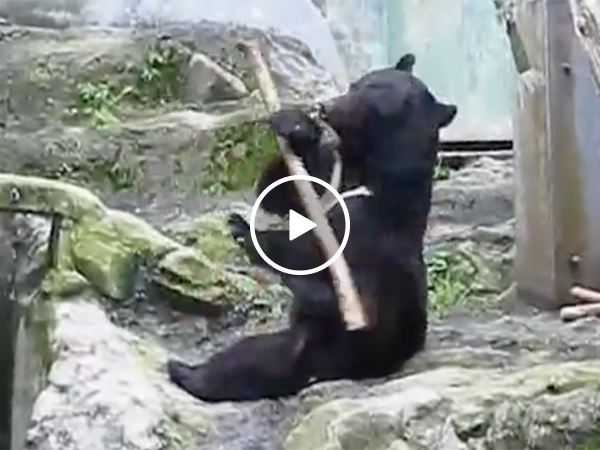 Black Bear in Zoo Uses A Tree Stick To Show Martial Arts Moves