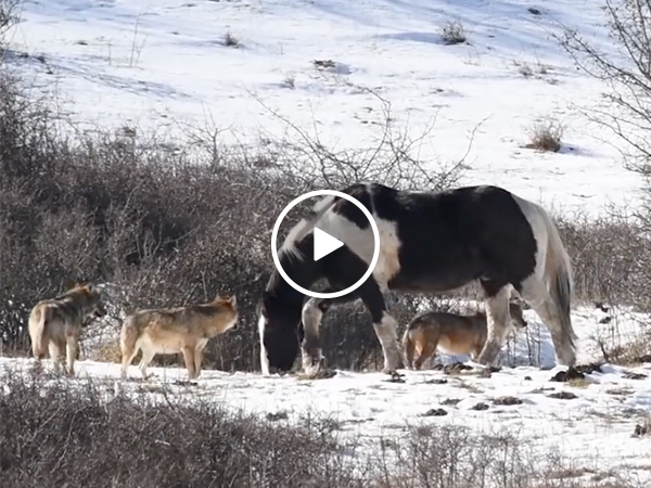 Horse not phased by pack of hungry wolves (Video)