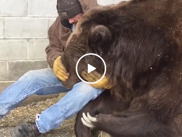 Caretaker soothes 1,400 pound sick bear named Jimbo (Video)