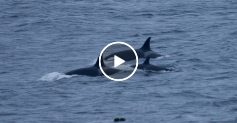 Killer Whales Swim Directly Towards Two Kids Swimming