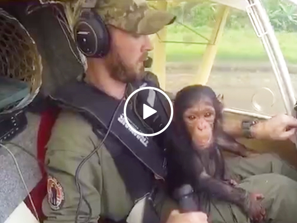 Rescued baby chimp cuddles pilot during flight to sanctuary(Video)