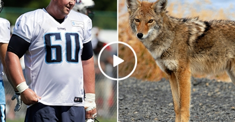 Tennessee Titans Catches a Stray Coyote Using Only His Hands