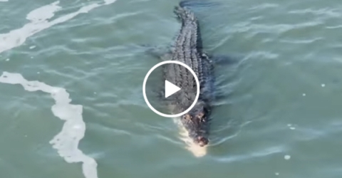 Shark and crocodile fight over piece of food