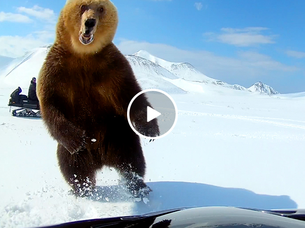 Douchebag Darwin Award Nominees taunt bear, almost pay for it with their lives (Video)