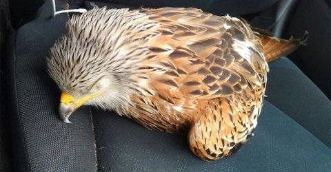 Man saves injured bird, is rewarded by the bird carjacking him
