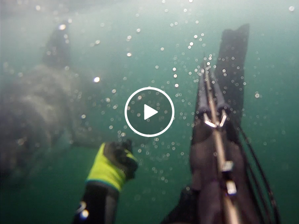 Spear fisher attacked by shark tearing off his flipper (Video)