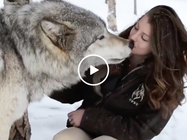 Wolves love on cute woman at rescue center (Video)