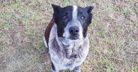 Deaf and half-blind hero dog honoured by Australian police force