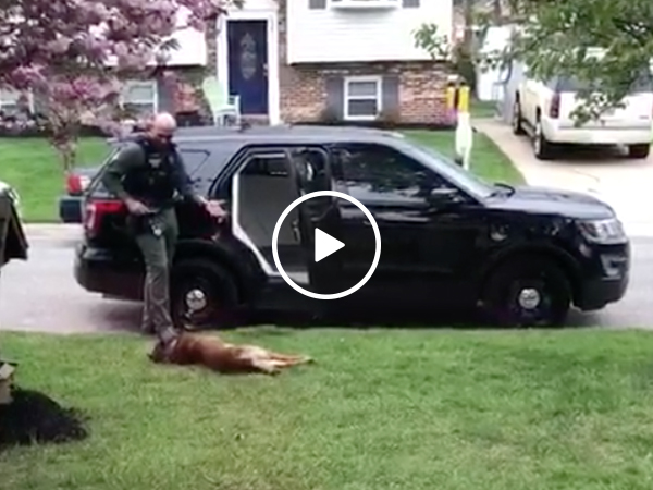 K9 officer refuses to go to work without a belly rub (Video)