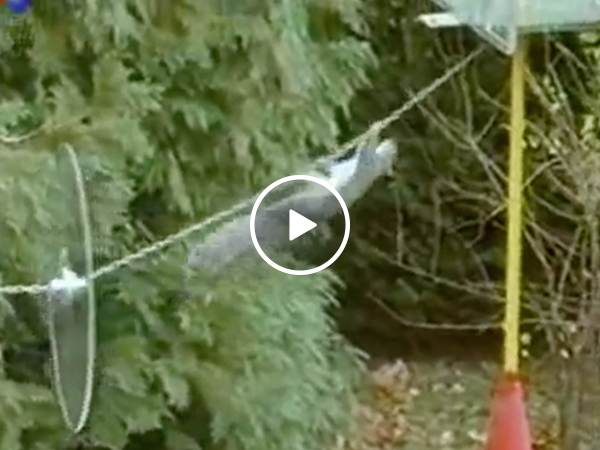Squirrel pulls off impressive obstacle course Mission Impossible style