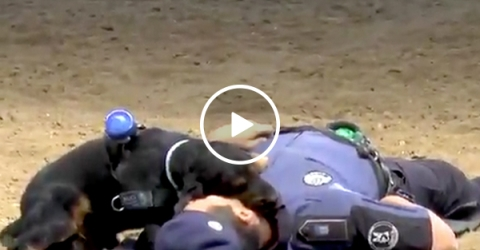Adorable police dog attempts CPR to save handler (Video)