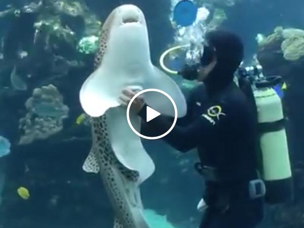 Affectionate zebra shark demands belly rubs from diver (Video)