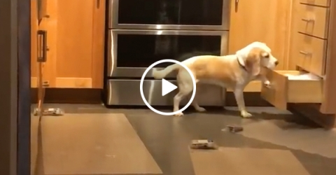 World's smartest beagle vs. shock mats (Video)