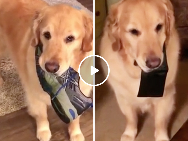 Adorable dog Archie is a master thief (Video)