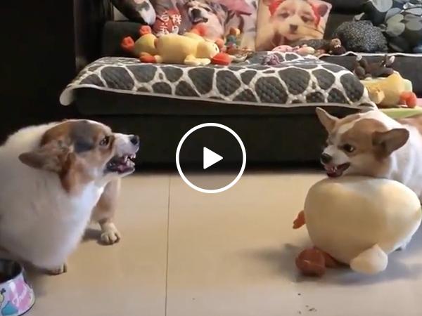 Corgi fight club is all bark and no bite (Video)