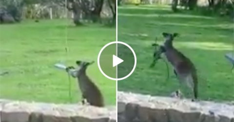 Kangaroo tries to get Into a Swing and Fails Miserably