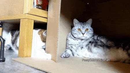 cats and boxes a love stronger than pb n j x gifs 17 Cats and boxes; a love stronger than PB n J (16 GIFs)