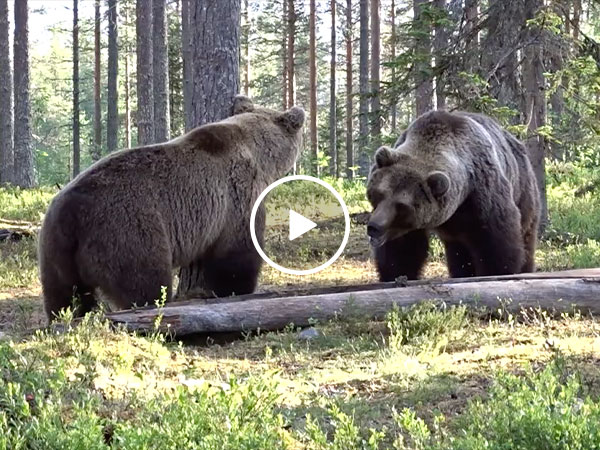 Perhaps the Greatest Bear Fight Ever. Just a couple of giant bears playing grabass in the forest (Video)