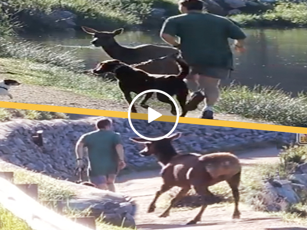 Deer Chase Jogger and Dog Video Funny Canadian Elk Run (Video)