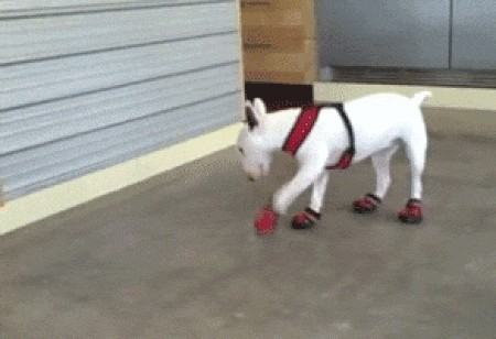 pets wearing their winter boots is a beautiful gift from santa x gifs 3 5 Pets wearing their winter boots is a beautiful gift from Santa (19 GIFs)