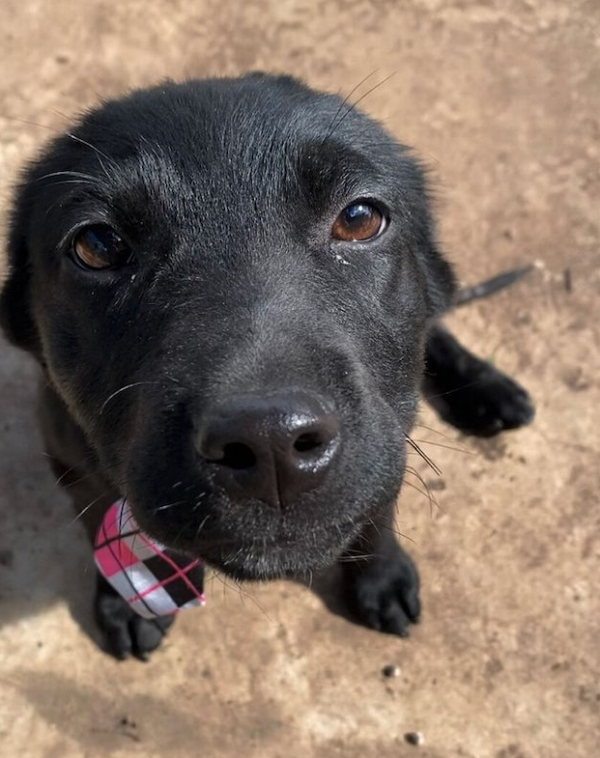 Adorable Black Labrador Puppy Burreaux That Went Viral For His Wide Smile Finds Forever Home Wholesome Heartwarming 1 Adorable rescue pup proves that smiling can change your entire life