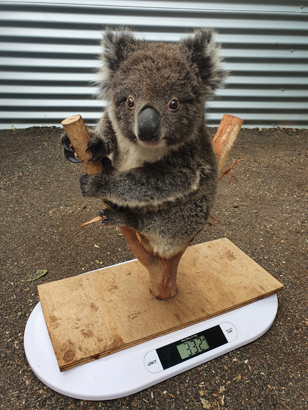 92830724 134166671483545 314754097012015104 o Theres a trick to weighing a zoo animal, and its too adorable (33 Photos)