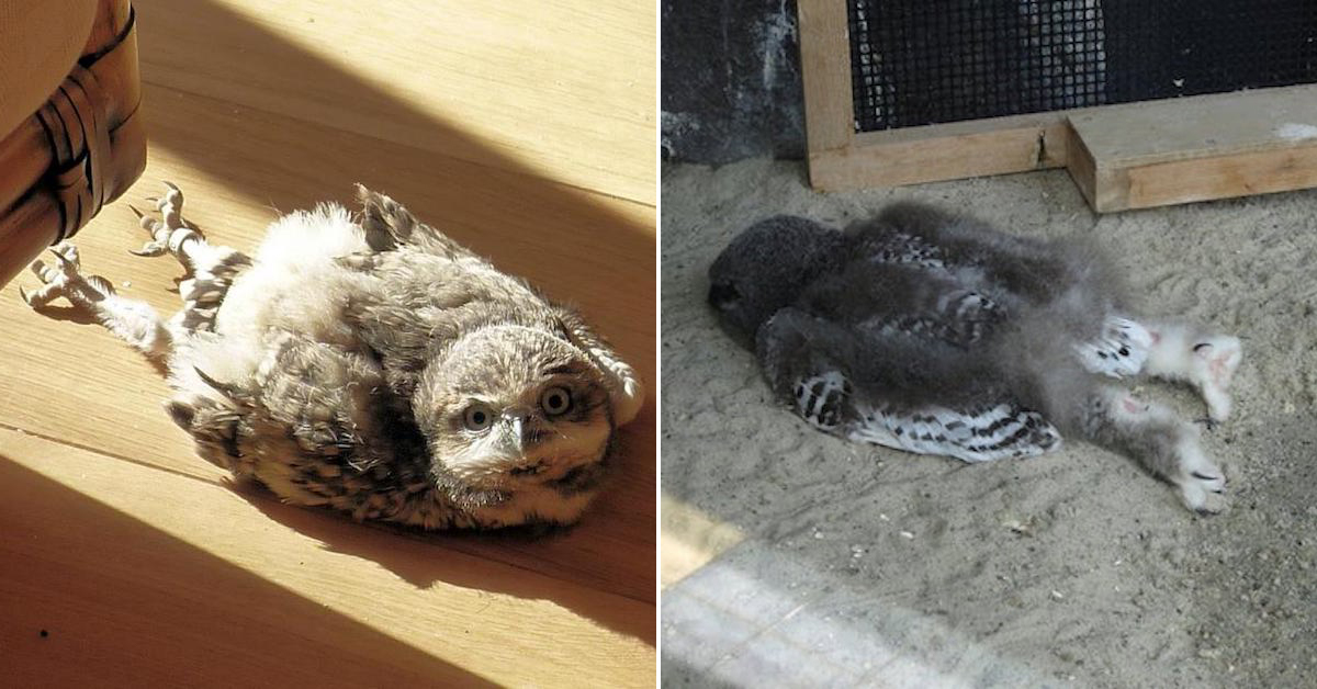 Til That Baby Owls Sleep Facedown Because Of Their Big Heads 21 Photos Thechive