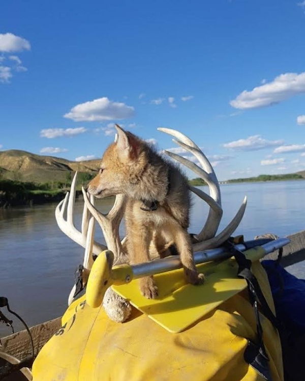 Canadian Kayaker Saves Coyote Pup From Drowning Humanity Animals Awesome Beautiful RAK 0 Canadian kayaker gains a travel companion after saving a coyote pup from drowning