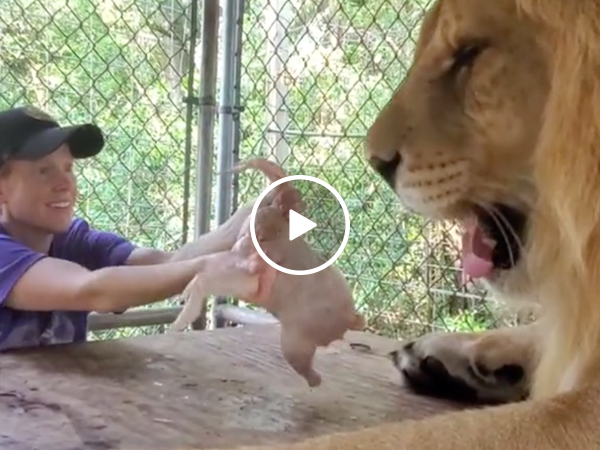 A hungry lion meets a dancing chicken (VIDEO)