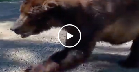 Massive Grizzly walks up to people and THEY sh*t in the woods (Video)